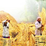 কুমিল্লায় নবান্ন উৎসব শুরু; বাম্পার ফলনে হাসি ফুটেছে গৃহস্থের মুখে