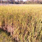 কুমিল্লার নাঙ্গলকোটে কৃষি জমিতে ভাইরাস রোগ, কৃষকের মাথায় হাত